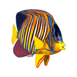 3D Rendering Royal Angelfish on White Royalty Free Stock Photos