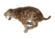 3D Rendering Saber Tooth Tiger on White. 3D rendering of a saber tooth tiger isolated on white background Royalty Free Stock Image