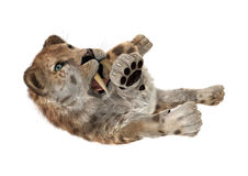3D Rendering Sabertooth Tuger on White Royalty Free Stock Images