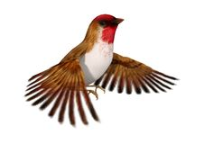 3D Rendering Scarlet Finch on White. 3D rendering of a flying bird scarlet finch isolated on white background Stock Image