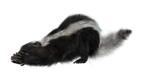 3D Rendering Skunk on White Stock Images