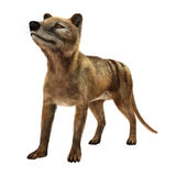 3D Rendering Thylacine on White Royalty Free Stock Photos