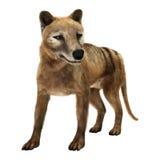 3D Rendering Thylacine on White Stock Images