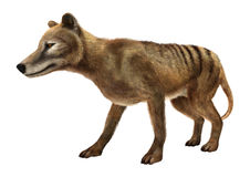 3D Rendering Thylacine on White Royalty Free Stock Photo