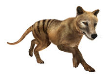 3D Rendering Thylacine on White Royalty Free Stock Image
