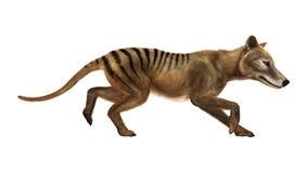 3D Rendering Thylacine on White Royalty Free Stock Photo