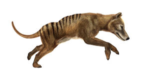 3D Rendering Thylacine on White Royalty Free Stock Images