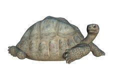 3D Rendering Turtle Galapagos Tortoise on White. 3D rendering of a turtle Galapagos Tortoise  on white background Stock Photos