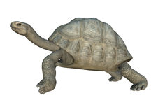 3D Rendering Turtle Galapagos Tortoise on White Royalty Free Stock Photography