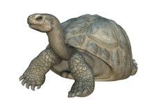 3D Rendering Turtle Galapagos Tortoise on White. 3D rendering of a turtle Galapagos Tortoise isolated on white background Royalty Free Stock Photos