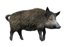 3D Rendering Wild Boar on White. 3D rendering of a wild boar isolated on white background Royalty Free Stock Photography