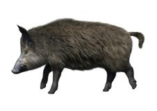 3D Rendering Wild Boar on White. 3D rendering of a wild boar isolated on white background Stock Photo