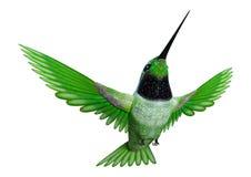 3D renderingu Hummingbird na bielu Zdjęcia Stock