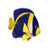 3D renderingu Nabazgrany Angelfish na bielu Fotografia Stock