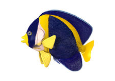 3D renderingu Nabazgrany Angelfish na bielu Zdjęcia Royalty Free