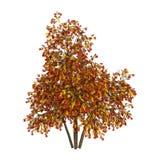 3D renderingu Rowan drzewa na bielu zdjęcia royalty free