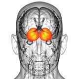 3d rendono l'illustrazione medica del cervello del cervello umano Immagine Stock