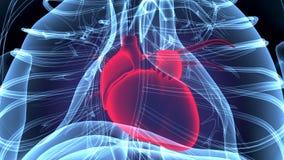 3d a rendu l'illustration d'anatomie d'un coeur humain illustration de vecteur