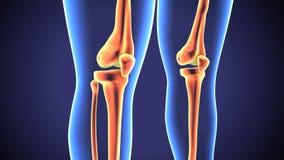 3d a rendu l'illustration d'anatomie d'une articulation du genou humaine illustration libre de droits