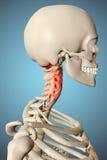 3d a rendu l'illustration du squelette masculin Image libre de droits