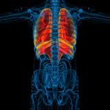 3d rinden el ejemplo médico del sistema respiratorio humano Imagen de archivo