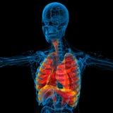 3d rinden el ejemplo médico del sistema respiratorio humano Fotografía de archivo