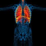 3d rinden el ejemplo médico del sistema respiratorio humano Fotos de archivo