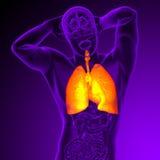 3d rinden el ejemplo médico del sistema respiratorio humano Imagenes de archivo