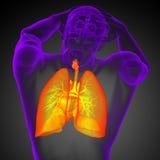3d rinden el ejemplo médico del sistema respiratorio humano Imágenes de archivo libres de regalías