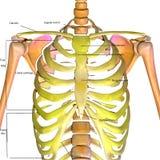 3d rindió el ejemplo de las costillas de un cuerpo humano libre illustration