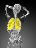 3d rindió el ejemplo del sistema respiratorio Fotos de archivo libres de regalías