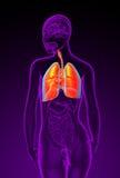 3d rindió el ejemplo del sistema respiratorio femenino Fotografía de archivo libre de regalías