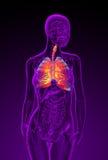 3d rindió el ejemplo del sistema respiratorio femenino Foto de archivo
