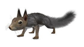 3D som framför östliga Grey Squirrel på vit Arkivfoton