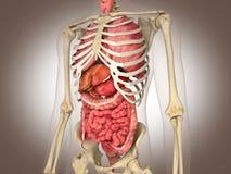 3D som framför det inälvs- inre organet Arkivbild