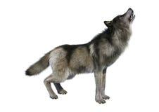 3D som framför Gray Wolf på vit Royaltyfri Bild
