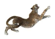 3D som framför stora Cat Cheetah på vit Arkivfoton