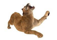 3D som framför stora Cat Puma på vit Arkivfoto