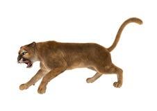 3D som framför stora Cat Puma på vit Arkivbilder