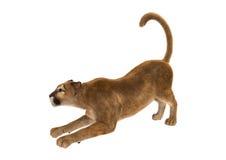 3D som framför stora Cat Puma på vit Royaltyfri Bild