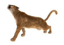 3D som framför stora Cat Puma på vit Royaltyfri Foto