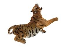 3D som framför stora Cat Tiger på vit Royaltyfri Foto