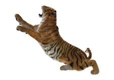 3D som framför stora Cat Tiger på vit Arkivbild