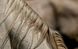 D?tail de crini?re sur le cheval blanc de retour image libre de droits