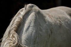 D?tail de crini?re sur le cheval blanc de retour photo libre de droits