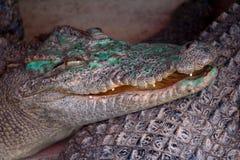 D?tail principal de crocodile photos stock