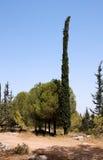 długi cyprysu pinetree cienieje Fotografia Stock