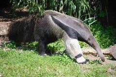 Długi Gigantyczny Anteater Zdjęcia Stock