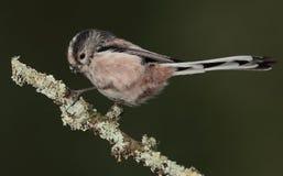 Długi ogoniasty tit zbieracki liszaj dla gniazdeczka Zdjęcia Royalty Free