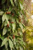 Długi pieprzowy drzewo Obraz Stock